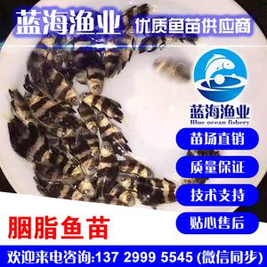 蓝海渔业——胭脂鱼苗(一帆风顺) 13729995545