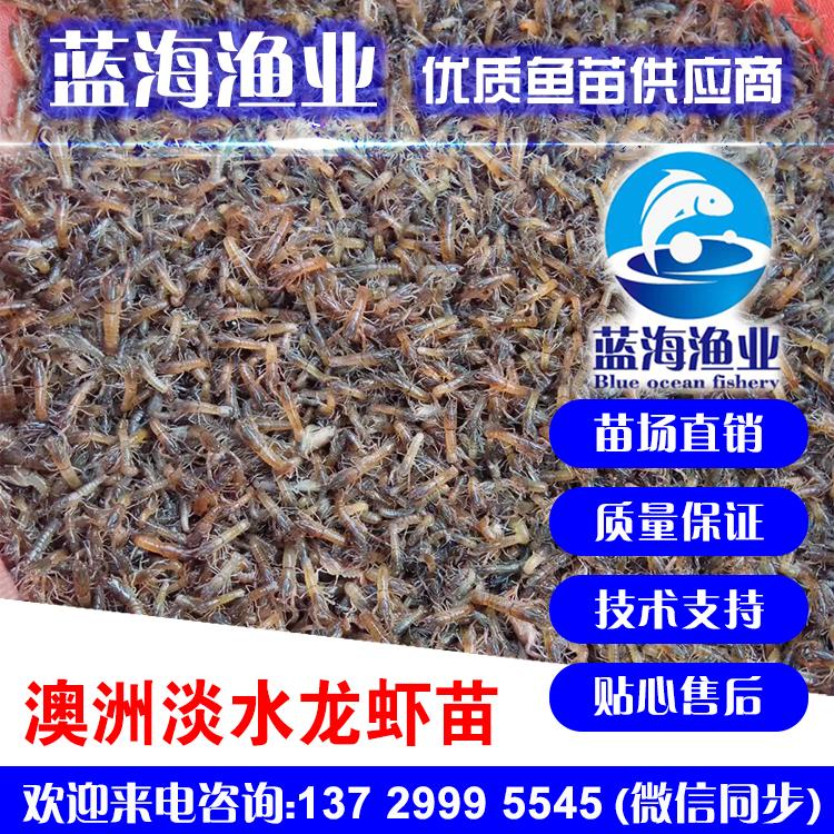 澳洲龙虾苗