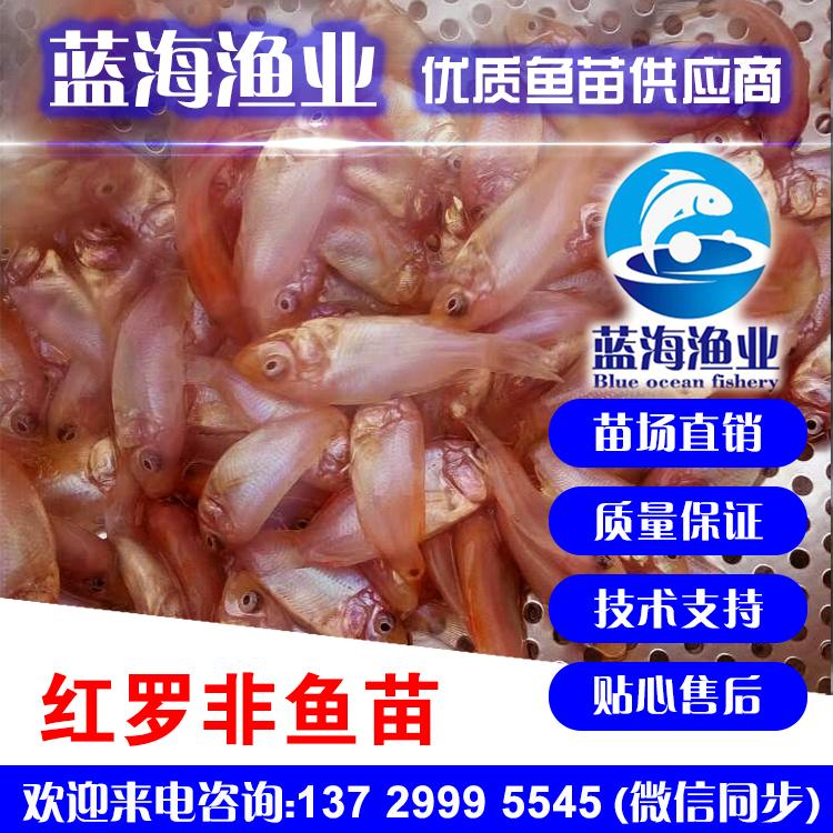 蓝海渔业_彩虹鲷羅非魚苗,紅羅非魚苗,星洲紅羅非魚苗 13729995545