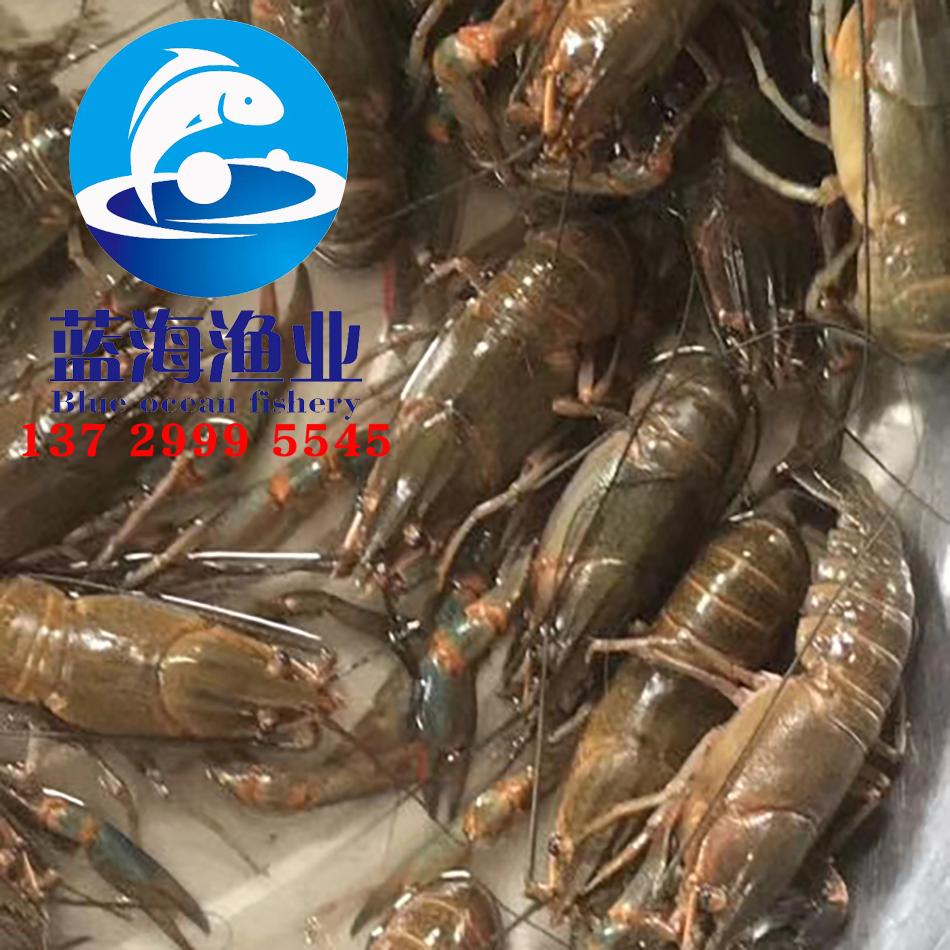 澳洲淡水龙虾苗1.jpg