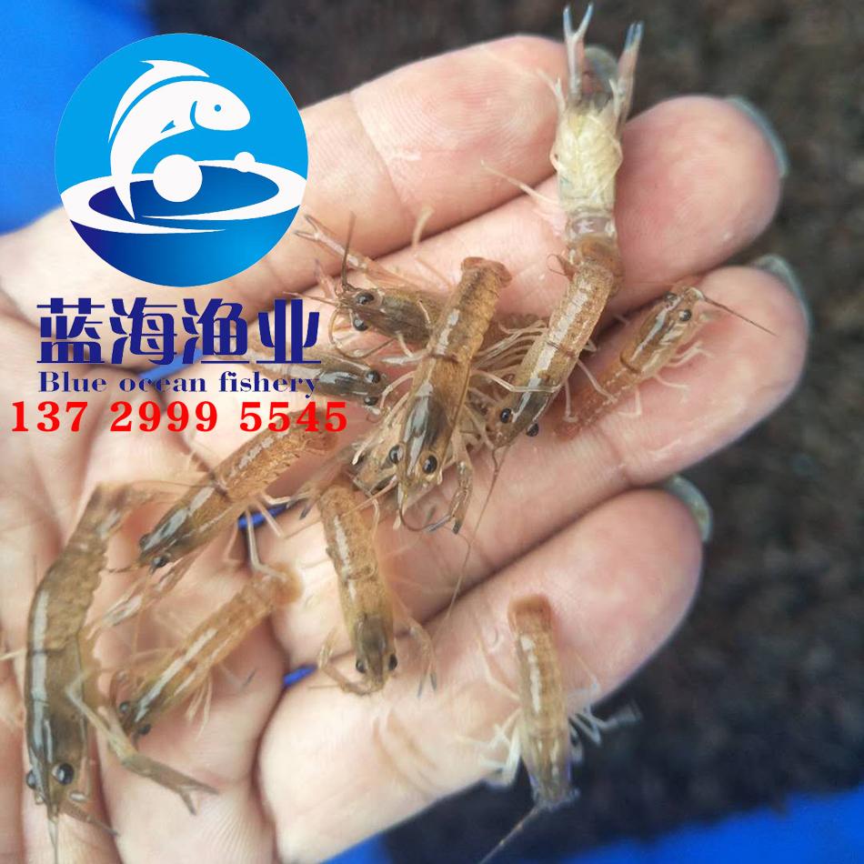 澳洲淡水龙虾苗3.jpg