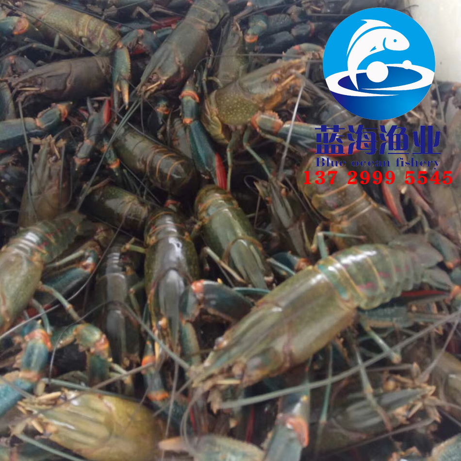 澳洲淡水龙虾苗5.jpg