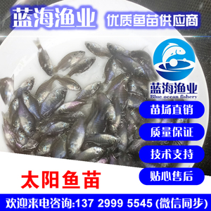 蓝海渔业——太阳鱼苗,蓝鳃太阳鱼苗,杂交太阳鱼苗 13729995545