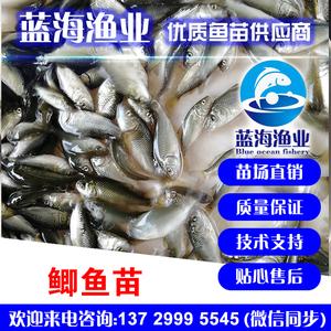 蓝海渔业——中科3号鲫鱼苗,长江鲫鱼苗 13729995545