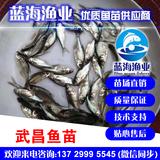 蓝海渔业——三角鲂鱼苗,团头鲂鱼苗,武昌鱼苗 13729995545
