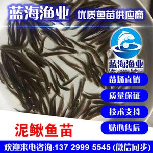 蓝海渔业——台湾泥鳅鱼苗,泥鳅鱼苗,纯种泥鳅鱼苗 13729995545