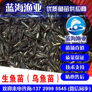 蓝海渔业——生鱼苗,乌鱼苗,黑鱼苗 13729995545