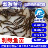 中华大刺鳅鱼苗批发