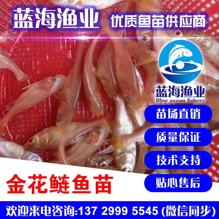 蓝海渔业——金大头鱼苗,金花鲢鱼苗,金鳙鱼苗 13729995545