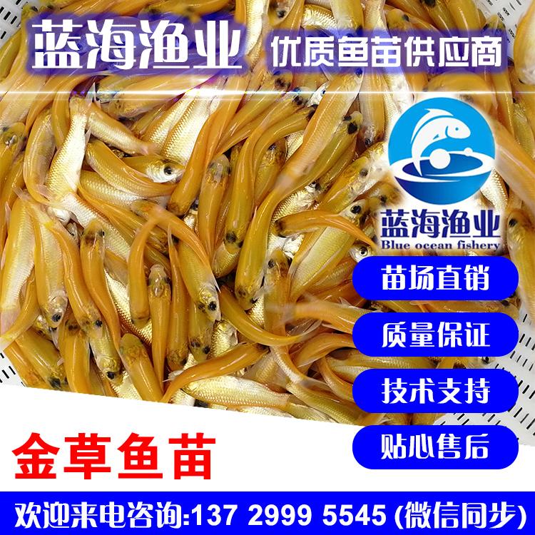 蓝海渔业——俄罗斯金草鱼苗,金丝鲩鱼苗,金草鱼苗,金鲩鱼苗13729995545