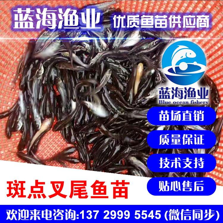 蓝海渔业——优质斑点叉尾鮰鱼苗 13729995545