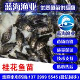 蓝海渔业——桂花魚苗,鳜鱼鱼苗 13729995545