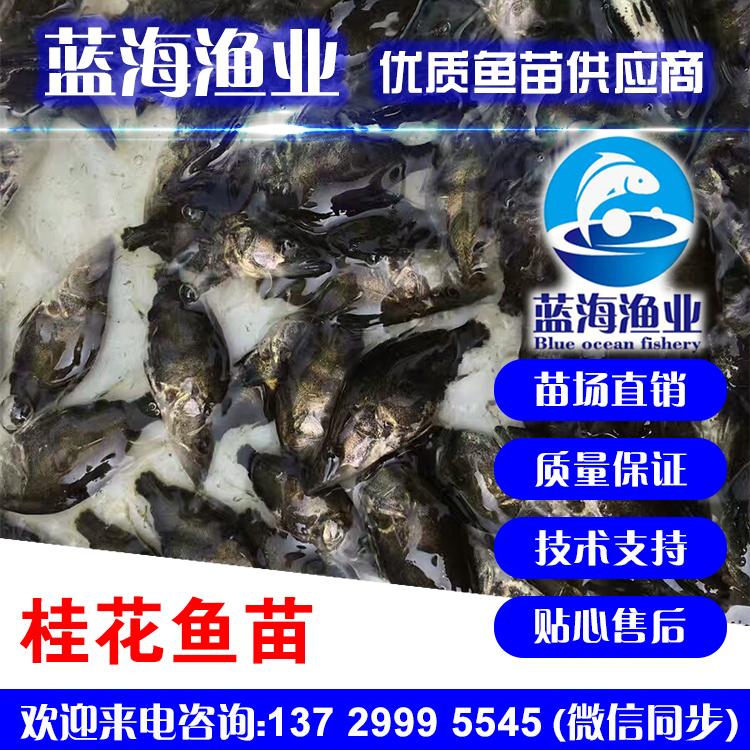 蓝海渔业——桂花鱼苗,鳜鱼鱼苗 13729995545