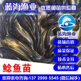 蓝海渔业——南方大口鲶鱼苗,杂交大口鲶鱼苗 13729995545