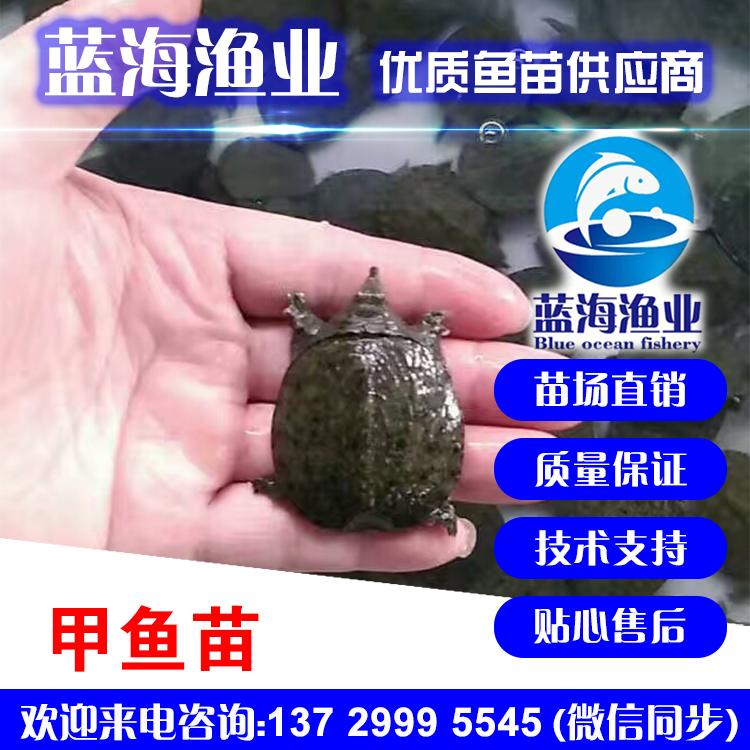 蓝海渔业——水鱼苗,甲鱼苗,中华鳖龟苗 13729995545