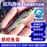 蓝海渔业——黑鲩鱼苗,青鱼苗 13729995545