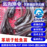 蓝海渔业——革胡子鲶鱼苗,埃及胡子鲶苗,埃及塘虱鱼苗 13729995545