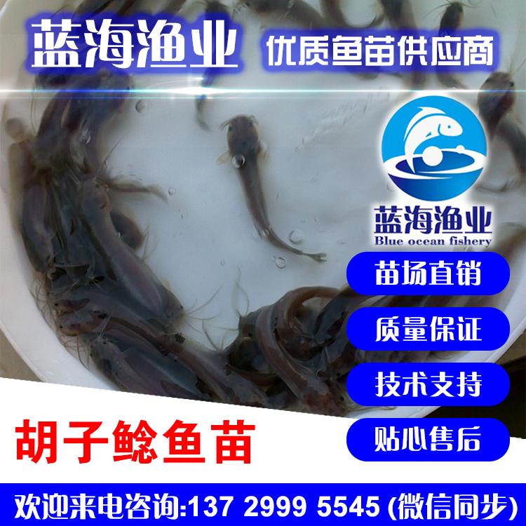 蓝海渔业——胡子鲶鱼苗,本地塘虱鱼苗,塘角鱼苗,秋鱼苗 13729995545