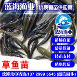 蓝海渔业——长江草鱼苗,长江鲩鱼苗,抗病强,生长快1372999554