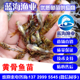 蓝海渔业——黄骨鱼苗,黄颡鱼苗,黄腊丁鱼苗 13729995545