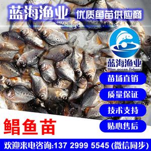蓝海渔业——淡水白鲳鱼苗,鲳鱼苗 13729995545