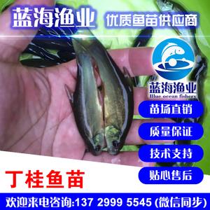 蓝海渔业_丁桂鱼鱼,丁鱼岁鱼苗 13729995545