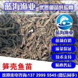 蓝海渔业——笋壳鱼苗,泰国笋壳鱼苗,杂交壳鱼苗 13729995545