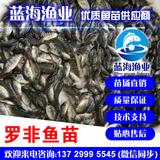 蓝海渔业_优质罗非鱼苗,吉奥罗非鱼苗 13729995545