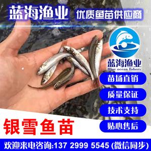 蓝海渔业—— 銀雪魚苗批发 13729995545