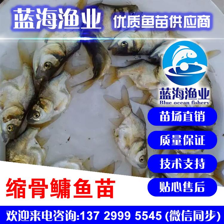 蓝海渔业——缩骨大头鱼苗,缩骨鳙鱼苗,缩骨花鲢鱼苗,仙骨鱼苗13729995545